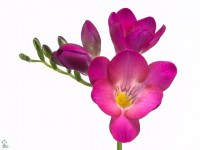 freesia-en-pink-passion